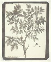 "Copy of Botanical Engraving of ""Celtis"", 1840/45. Creator: William Henry Fox Talbot."