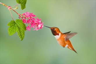 Rufous hummingbird (Selasphorus rufus) feeding at a red currant blossom in Victoria, Vancouver Island, British Columbia, Canada