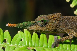 Long-nosed Chameleon
