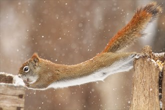 Funny North American red squirrel