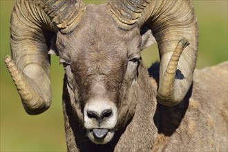Funny looking portrait of a bighorn ram