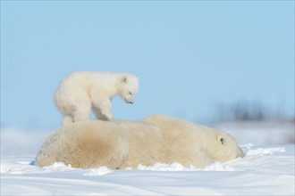 Polar bear mother