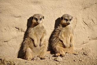 Two lazy meerkats