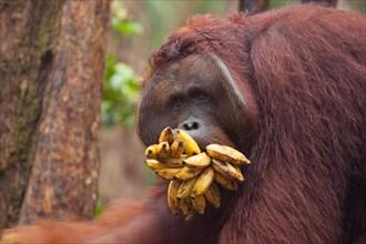 Wild orangutan dominant male