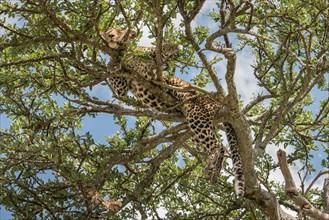 Leopard - African Wildlife