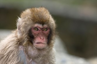 Young Japanese Macaque (Macaca fuscata) threatening another monkey