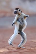Verreaux's Sifaka (Propithecus verreauxi) dancing in Madagascar