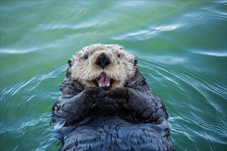 Cute Sea Otter, Enhydra lutris, lying back in the water and appearing to smile or laugh, Seldovia Harbor, Alaska, USA