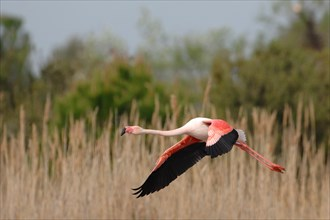 a flamingo while landing in the reeds of the pond