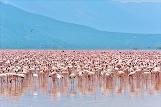 Huge Swarm of Lesser Flamingos, Phoenicopterus minor, at Lake Bogoria in Kenya
