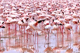 Flaunting Lesser Flamingo, Phoenicopterus minor, at Lake Bogoria, Kenya