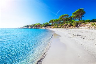 Sandy Palombaggia beach with pine trees and azure clear water, Corsica, France, Europe.