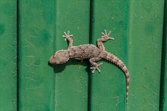 Tarentola mauritanica, Moorish Gecko