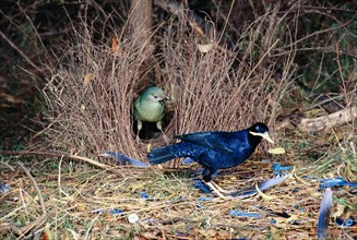 Satin Bowerbird Ptilonorhynchus violaceus Male and female at bower Canberra Australia