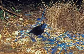 Satin Bowerbird Ptilonorhynchus violaceus Male at bower Lamington NP Australia S