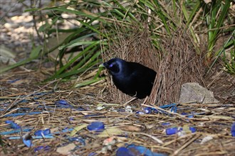 satin bowerbird inside a bower