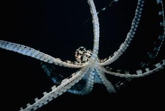 Mimic Octopus Thaumoctopus mimicus Lembeh Strait Celebes Sea Sulawesi Indonesia