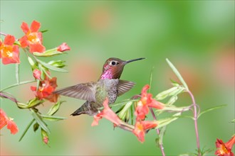 Anna's Hummingbird in Scarlet Monkey Flower
