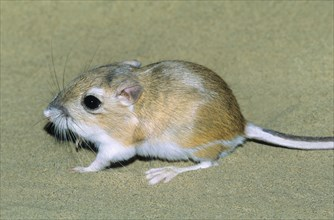 Adult Ord's kangaroo rat (Dipodomys ordii), southeastern Alberta, prairie Canada