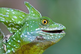plumed basilisk, Basiliscus plumifrons, eating an insect in Costa Rica.
