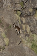 Walia Ibex (Capra walie) adult female, climbing vertical rockface, Simien Mountains, Ethiopia
