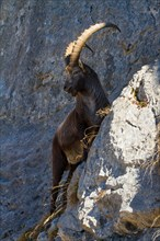 alpine ibex (Capra ibex), climbing on slope, Switzerland, Toggenburg, Chaeserrugg