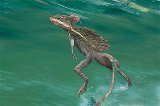 Brown basilisk, Striped Basilisk, Yellow-striped Basilisk, Jesus Christ Lizard (Basiliscus vittatus), running over the water