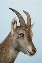 Head shot of female Alpine ibex / Steinbock / Alpensteinbock ( Capra ibex ).