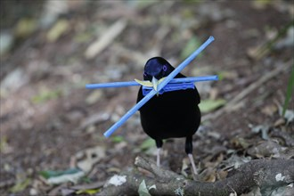 Satin Bowerbird, Ptilonorhynchus violacea, male carrying blue plastic sticks to decorate his bower