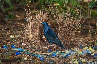 Satin Bowerbird (Ptilonorhynchus violaceus)  Male in bower decorated with found blue objects and yellow flowers, Lamington Natio