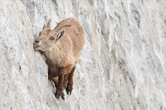 Alpine ibex on dam (Capra ibex), a female is licking mineral salts on a near-vertical wall.