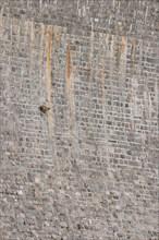 Alpine ibex on dam (Capra ibex),