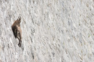 Alpine ibex on dam (Capra ibex), juvenile male