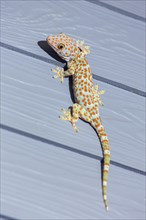 Tokay Gecko on wooden wall in Thailand