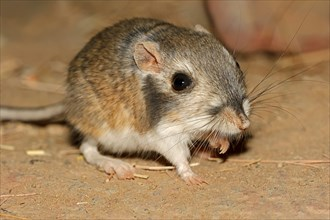 Merriam's Kangaroo Rat, Mexico / (Dipodomys merriami) | Merriams Kaengururatte / (Dipodomys merriami)