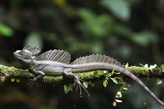 Emerald basilisk (Basiliscus plumifrons) in Costa Rica
