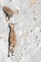 A female of alpine ibex (Capra ibex) with its pup is walking on a dam wall looking for mineralt salts. Antrona valley, Italy.
