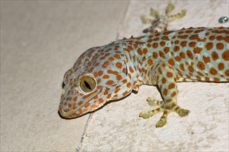 A large Tokay Gecko hunting, sitting on the wall. Photographed at night with flash lamp. Koh Rong Samloem, Cambodia.