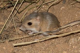 A desert kangaroo rat.