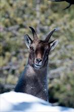 Alpine Ibex in winter, Capra ibex,  France