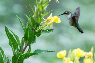 Female ruby-throated hummingbird nectaring on evening primrose flowers