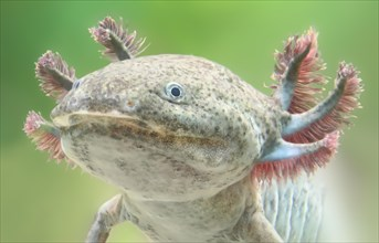 Close-up view of an Axolotl (Ambystoma mexicanum)