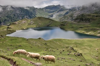 Sheeps are grazing above a small lake, in the middle of the mountains. The summits are lost in the clouds. This landscape is beautiful and peaceful.