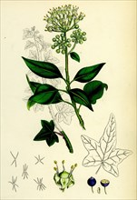 Hedera Helix; Common Ivy