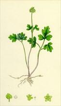 Adoxa Moschatellina; Tuberous Moschatel