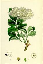 Sambucus nigra; Common Elder