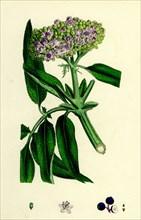 Sambucus Ebulus; Danewort