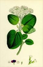 Viburnum Lantana; Wayfaring-tree