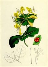 Lonicera Caprifolium; Perfoliate Woodbine