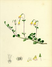 Linnaea borealis; Two-flowered Linnaea